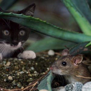 Katze beobachtet Maus_pixabay_suju