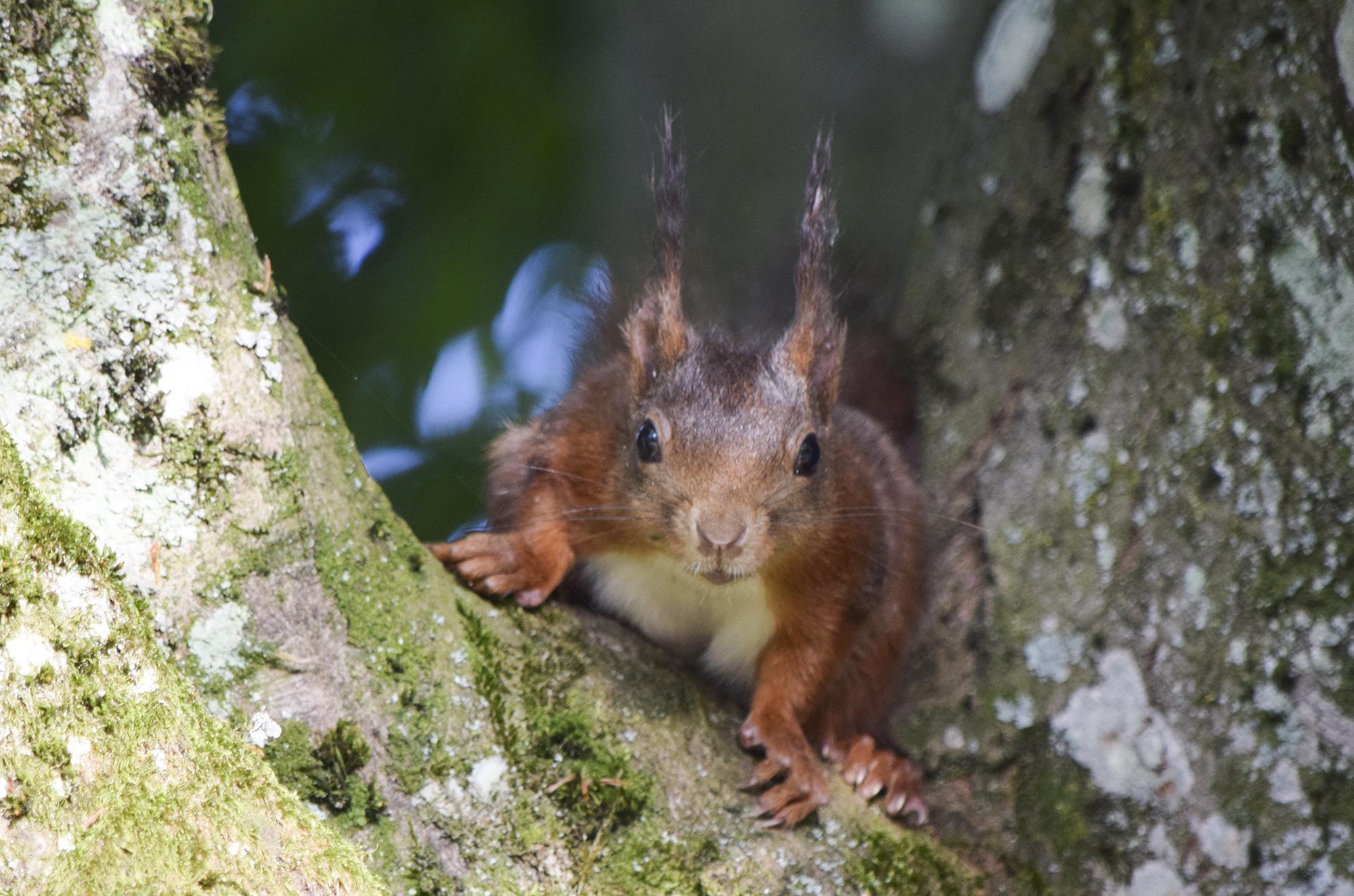 Eichhörnchen_MadlenPlattner_wildenachbarn.ch